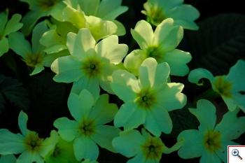 Primule comuni (Foto nr.10 – Primula vulgaris Hudson - Primulaceae)