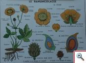 Le Ranuncolaceae