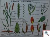 Graminaceae