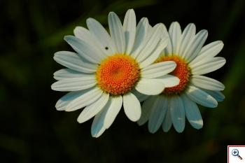 Margheritone bianche (Foto nr.102 - Leucantemum vulgare  Lanc.)