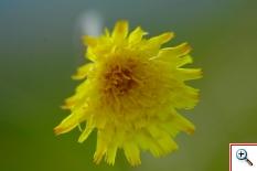 Pilosella (Foto nr. 112 - Hieracium pilosella L.)