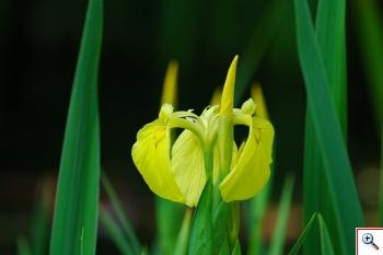 Giaggiolo Acquatico ( Foto nr.127   – Iris pseudoacorus – Iridaceae)