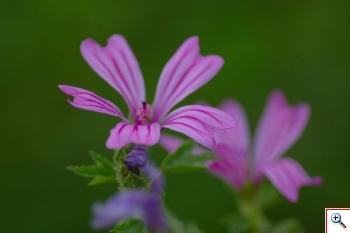 Malva ( Foto nr.132  – Malva silvestris L. – Malvaceae)