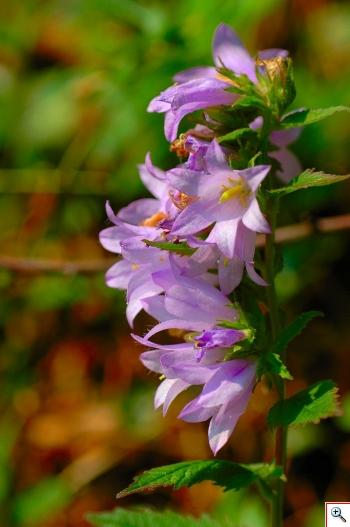 Campanula Selvatica che trovate un po' ovunque, specie sul Col San Lorenzo (Foto nr. 135 – Campanula trachelium L.)