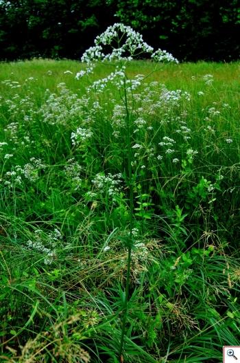 Valeriana Officinale, usata da sempre nella tradizione curativa popolare (Foto nr.140 - Valeriana officinalis L.)