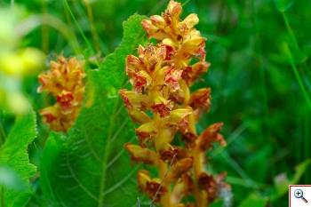 Succiamele Rossastro - (Foto nr. 144 -  Cfr. Orobanche sp. – Orobancaceae)