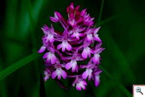 Orchide piramidale Foto nr. 166 Anacamptis pyramidalis (L.) L. C. Rich.