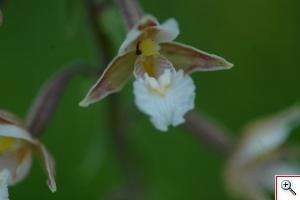 Elleborina di palude Foto nr.177 Epipactis palustris (Miller) Crantz.