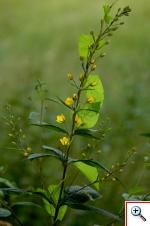 Mazza d'oro comune (Foto nr.179 – Lysymachia vulgaris L.)