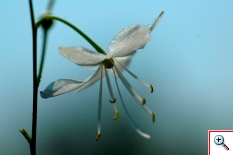 Lilio Asfodelo (Foto nr.186  – Anthericum ramosum L.)