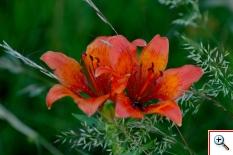 Giglio Rosso (Foto nr.190 – Lilium bulbiferum L. subsp. Bulbiferum)