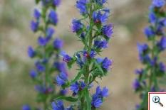 Erba Viperina Azzurra (Foto nr.197 – Echium vulgare L.)