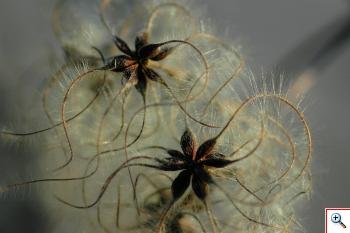 Viorna (Foto nr.2 – Clematis vitalba L. – Ranuncolaceae)