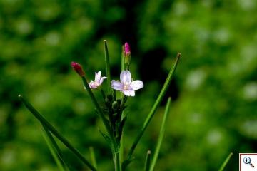 Epilobio Irsuto o Violetta di Palude (Foto nr.215   - Hepilobium hirsutum L.)