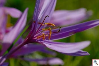 Liliacea, cioè un Giglio ( Foto nr.256 - Colchicum autumnale L.)