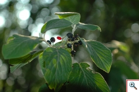 Viburno Lantana ( Foto nr.259 - Viburnum lantana L.)