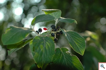Viburno Lantana (Foto nr.259   – Viburnum lantana L.)