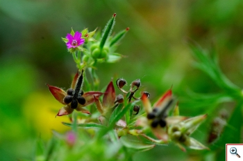 Fiori e semi geranio (foto nr.272)