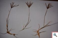 Gramigna Comune (Foto nr.274 - Agrophyron repens (L.) Beauv.)
