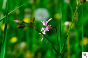 Fior di Cuculo (Crotonella fior di cuculo) (Foto nr.278 – Lichnys flos-cuculi L.)