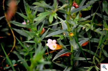 Graziola, già in fiore dalla Primavera (Foto nr.279 – Gratiola officinalis L)