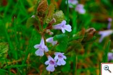 l'Edera terrestre (Foto nr.34 – Glecoma hederacea L. – Labiatae)
