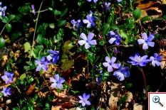 Pervinca (Foto nr.45 – Vinca minor L. – Apocynaceae)