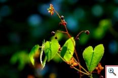 Epimedio alpino (Foto nr.47 – Epimedium alpinum – Berberidiaceae)