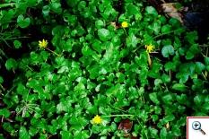 Favagello (Foto nr. 55 – Ranunculus ficaria L. – Ranuncolaceae)