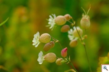 "Strigoli (""taijadée de'a Madona"" in veneto) – (Foto nr. 65 – Silene vulgaris subsp. Vulgaris (Moench) Garcke)"