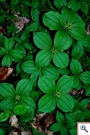 Uva di Volpe (Foto nr. 77 – Paris quadrifolia L. – Liliaceae)
