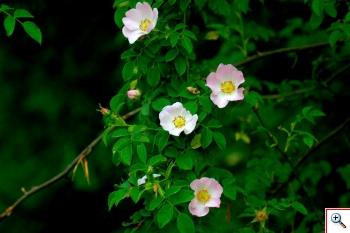 Rosa selvatica (Foto nr.79 – Gruppo Rosa canina L. – Rosaceae)