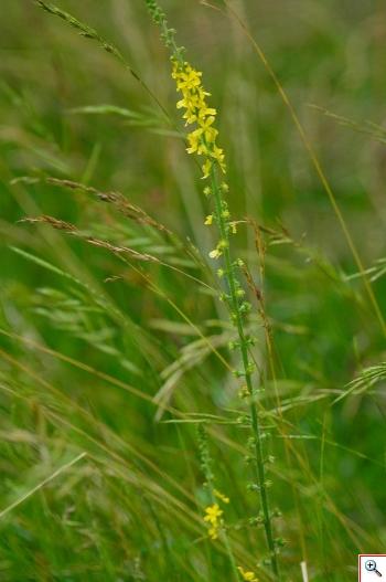 Agrimonia (Foto nr.86 – Agrimonia Eupatoria L.)