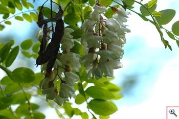 Robinia (Foto nr.91 -  Robinia pseudacacia L.)