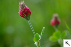 Trifoglio incarnato (Foto nr.94 - Trifolium incarnatum L.)